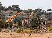 Giraffe Pair on the Move