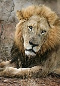 Male Lion Looking Sad
