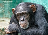 Chimpanzee Head and Torso