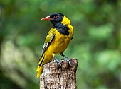 Black-headed Oriole Looking Back
