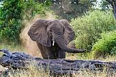 Elephant Sprayiing Dust