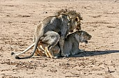 Lion Pair Mating
