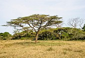 African Acacia Trees