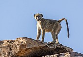 Baboon on Rocky Outcrop
