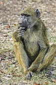 Baboon Looking at Camera