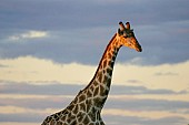Giraffe Head and Neck in Warm Light