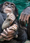 Chimpanzee with Focus on Hands and Feet