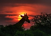 Giraffe Against Red Sunset