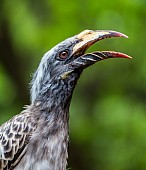 African Grey Hornbill Female, Head and Neck