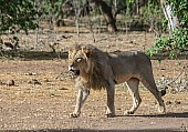 Male Lion Striding Out