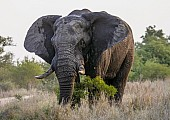 Elephant Bull with Heavy Tusks