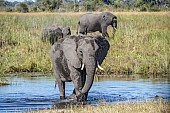 Elephant Wading in Water