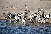 Zebra Group Take Fright