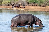 Hippo standing in shallow water, side view