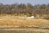 Impala herd drinking