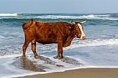 Cow Standing in Foamy Sea Water