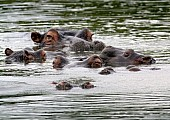 Hippo Group Close Together