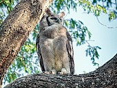 Verreaux's Eagle-Owl Looking to Side
