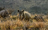 White Rhino Trio