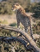 Young Cheetah on Tree Stump