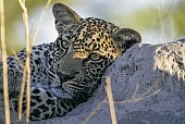 Leopard Juvenile, Close-up