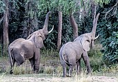 Elephant Pair with Trunks Outstretched