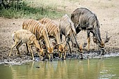 Nyala antelope group drinking