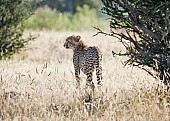 Young Cheetah in Winter Grass