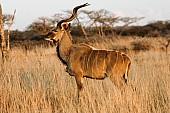 Kudu Bull, Side View