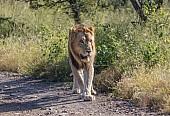 Lion Male on Patrol
