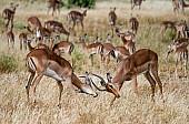 Impala Antelope Sparring