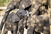 Affectionate Baby Elephants