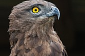 Brown Snake Eagle, Head and Neck