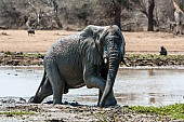 Elephant Stepping from Muddy Pool