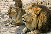 Lion and Lioness Lying in Shade