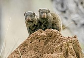 Dwarf Mongoose Pair