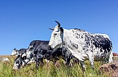 Nguni Cattle Grazing