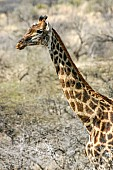 Giraffe Female, Side View