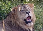 Male Lion Close View