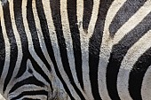 Zebra Hide Close-up