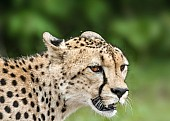 Cheetah Head, Close-up