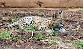 Serval Kitten with Feather