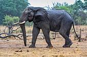 Elephant Taking a Walk