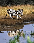 Zebra Standing at Water's Edge