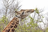 Giraffe Using Tongue to Feed