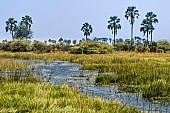 Okavango Delta Scenic with Palm Trees