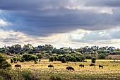 Wildebeest in Grassland Scenic