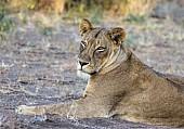 Lioness Head and Torso