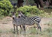 Zebra Mother with Juvenile