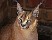 Caracal in Wildlife Centre